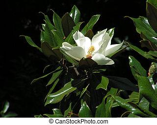 magnolia white petal flower leaf head