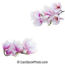 magnolie, blumen, weiß
