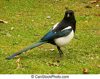 Close up of a magpie (Pica pica), England