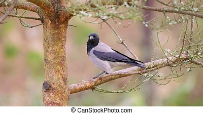 Magpie crow bird sitting on a branch in a tree - Eurasian...