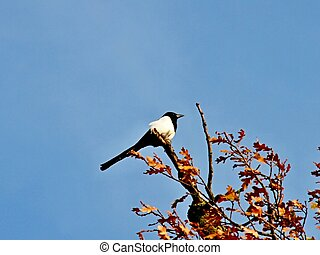 Magpie in top of a tree