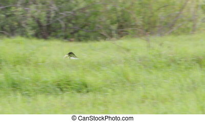 Magpie moves on a green meadow with a piece of bread in her...