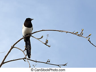 magpie on a spring branch