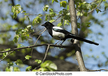Magpie on the tree