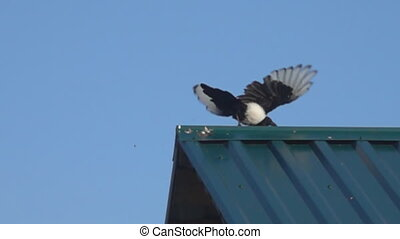Magpie, takeoff from the roof of the house. Super slow motion 1000 fps
