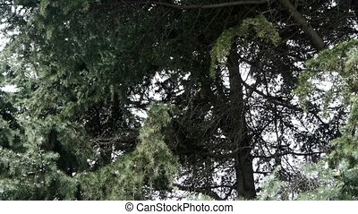 Magpies fly on pine trees.