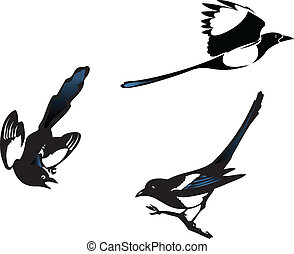 Three magpies birds, vector illustration