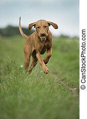 Magyar Vizla running in grass - Magyar Vizla running across...