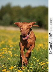Magyar Vizla running across meadow