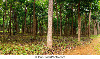 Mahogany plantation in Kauai, Hawaii - Panorama of trunks in...