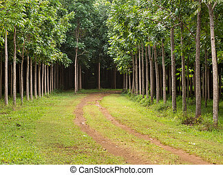 Mahogany plantation in Kauai, Hawaii - Pathway or track...