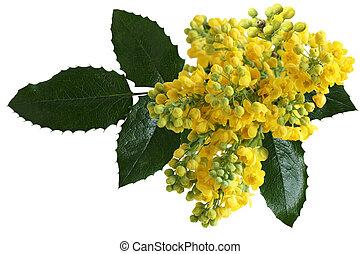 Mahonia aquifolium Flowers - Mahonia aquifolium Oregon-grape...