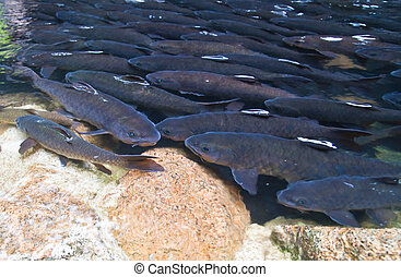 Mahseer Barb or Neolissochilus stracheyi in Cyprinidae at ...