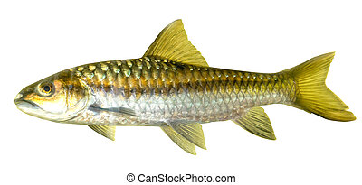 Mahseer Barb or Neolissochilus stracheyi in Cyprinidae isolated on white background.