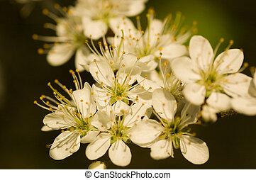 mai, fleur, arbre
