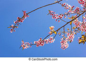 mai, sakura, 木, kian, khun, chiang, チャン, タイ
