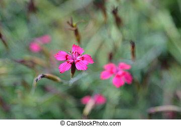 Maiden pink Flashing lights - Latin name - Dianthus...