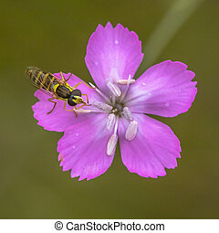 Maiden pink flower with hoverfly - Maiden pink (Dianthus...