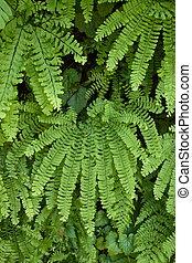 Maidenhair Fern - Maidenhair fern at Silver Falls State Park