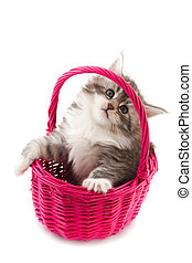 Main coon kitten - Young Main Coon kitten in pink basket