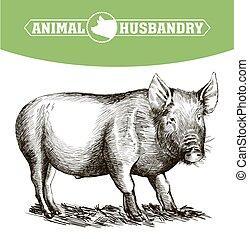 main., croquis, dessiné, bétail, cochon