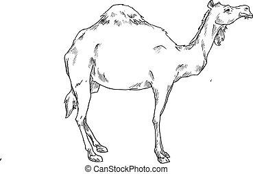 main, dessiné, chameau