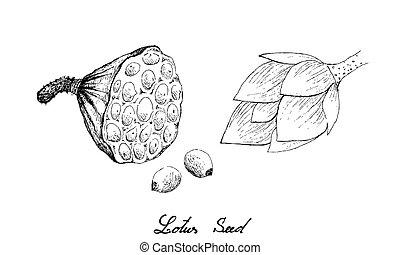 main, dessiné, lotus, cosse, graines