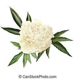 main, dessiné, pivoine, fleur blanche, feuilles