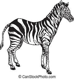 main, dessiné, zebra