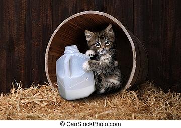 Maincoon Kitten Drinking Gallon of Milk - Maincoon Kitten...