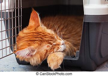 maine, chat gingembre, porteur, chaton, dormir, nègre