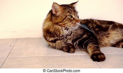 Maine Coon black tabby cat with green eye lying on the floor.