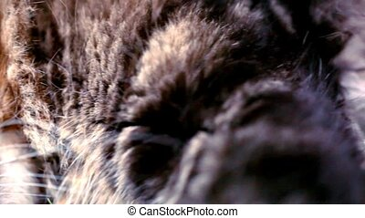 Maine Coon black tabby cat with green eye on grass. Macro video shift motion