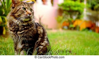 Maine Coon black tabby cat with green eye sitting on grass.