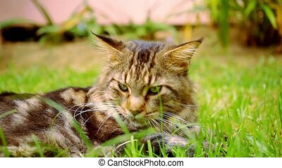 Maine Coon black tabby cat with green eye lying on grass.