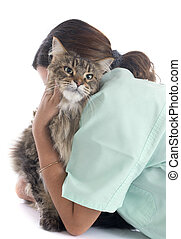 maine coon cat an vet - portrait of a purebred maine coon...