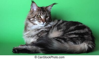 Maine Coon cat curled up on green screen and looks at camera, selective focus