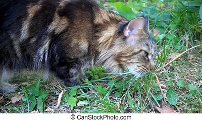 Maine Coon cat eat grass at morning. HD. 1920x1080