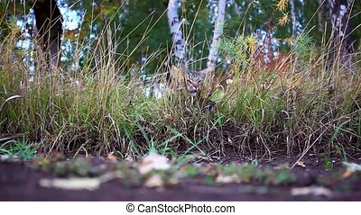 Maine coon cat eating grass in the forest in the autumn