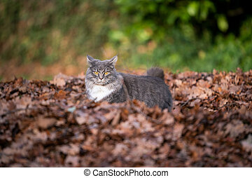 maine coon cat in pile of autumn leaves