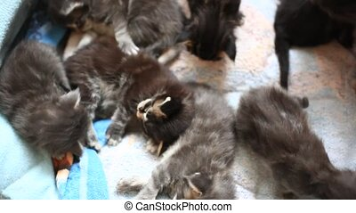 Maine coon Cat is licking her kittens