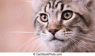 Maine coon cat looking