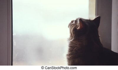 Maine coon cat looks out the window. 1920x1080