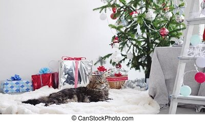 Maine coon cat lying among the boxes gifts and Christmas...