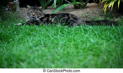 Maine Coon cat lying on grass and plays