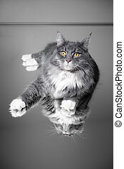 maine coon cat on mirror