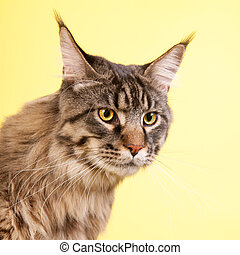 Maine coon cat on pastel yellow