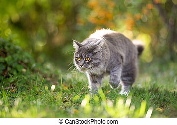 maine coon cat on the move