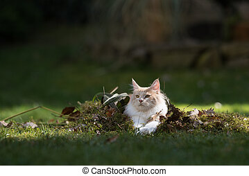 maine coon cat resting on pile of leaves