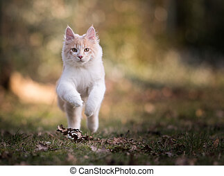 maine coon cat running